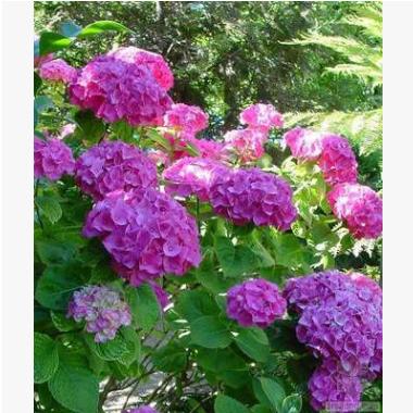 绣球八仙花 萧山苗圃直销 大量批发 各种规格 绿化工程