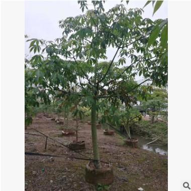 苗圃基地直销美丽棉 园林绿化乔木袋苗美丽异木棉