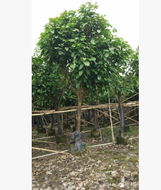 苗圃直销苹婆 大型易种植观叶苗木富贵子