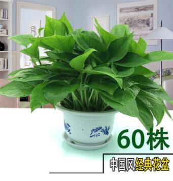 绿萝盆栽 室内外可水培盆栽吸甲醛净化空气花卉绿植盆栽栽