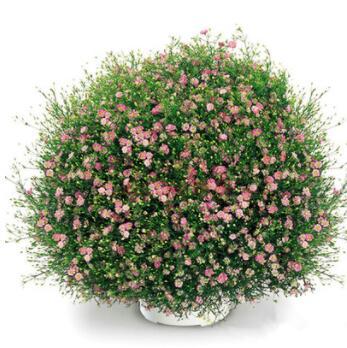 满天星种子 粉色满天星白色满天星花种花卉种子 阳台花草种子