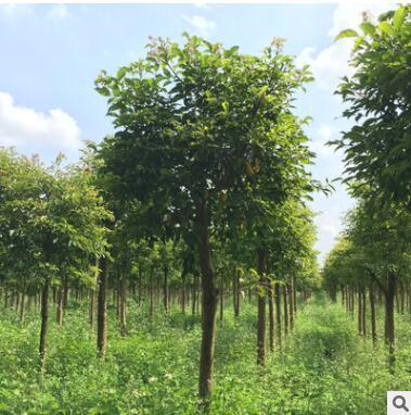 秋枫树苗12公分常绿性 优质工程绿化苗风景树