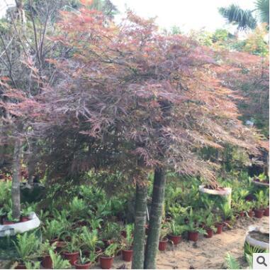 别墅庭院造景-羽毛枫