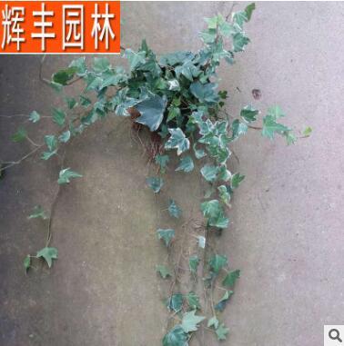 常春藤 常春藤苗 中华常春藤 园林绿化爬藤植物 藤本植物攀缘植物