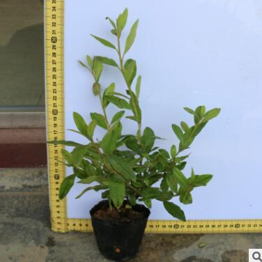 毛杜鹃 花卉小盆栽园林绿化苗木树桩盆景出售花木批发植物苗圃