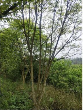 批发元宝枫红枫批发各类乔木苗木树木观赏树风景树