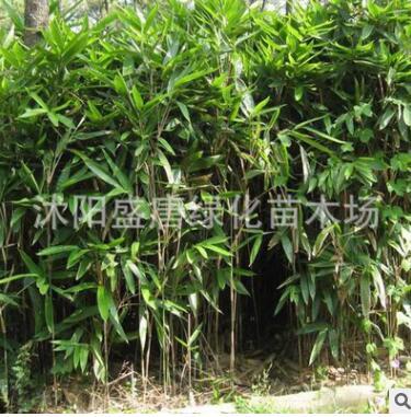 供应矮生绿化观赏竹 箬竹 阔叶箬竹 若竹苗 箬竹直销基地