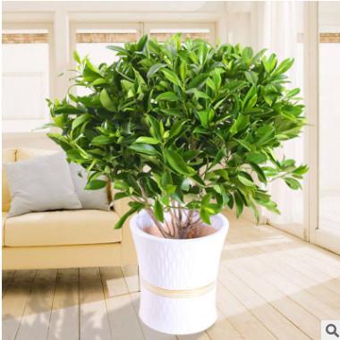 非洲茉莉室内客厅大型绿植花卉盆栽植物四季常青净化空气吸甲醛