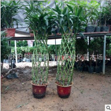 高档室内绿化植物富贵竹笼盆栽非常好养含盆带土发货特价全国包邮
