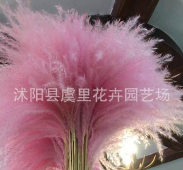 干花芦苇蒲苇花粉色彩色咖啡店摆件芦明星苇婚礼婚庆装饰干花芦苇
