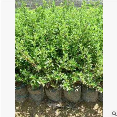 六月雪 杭州绿化 市政园林采购批发价格 红花醡浆草 常绿灌木