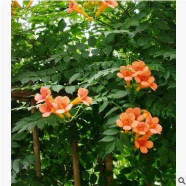 基地供应凌霄 紫藤 蔷薇月季 攀爬 植物 丰花月季量大从优