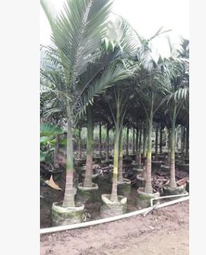 大型绿植盆栽热带植物假槟榔 棕榈苗木基地批发
