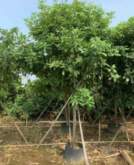 红花玉蕊10-12分假植苗楼盘风景树福寿树中山基地直销