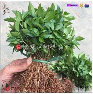 高产青花椒苗 江津团叶九叶青 产量比其他青花椒品种高