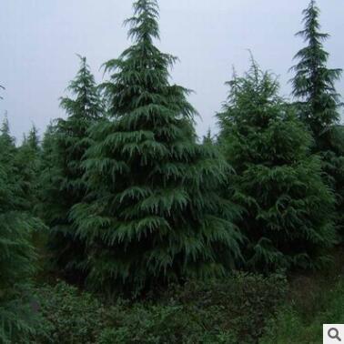 直销红皮云杉青扦云杉树 4米云杉树 规格齐全 绿化工程