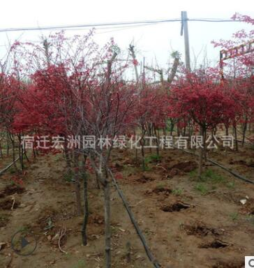 日本红枫苗批发园林绿化苗木嫁接红枫树苗 彩色观叶类造景树苗