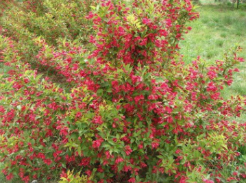 苗圃直销红王子锦带花苗花期长成活率高庭院盆栽花卉苗品种齐全