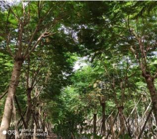 大规格绿植凤凰木25-30cm风景树红花楹中山基地直销