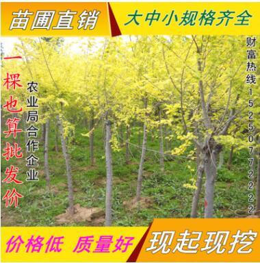 金叶榆直销 树形优美姿态喜人2-10公分高干中华金叶榆树 规格齐全