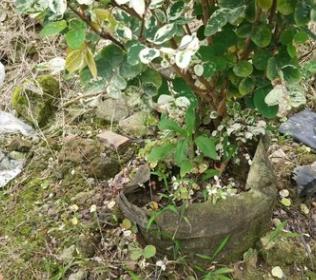 花厂直销盆栽雪花木 多种规格花叶绿植白雪木基地批发