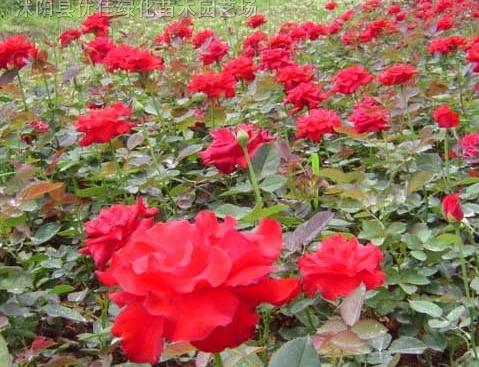 蔷薇、红帽月季、黄帽月季、大花月季、品种月季