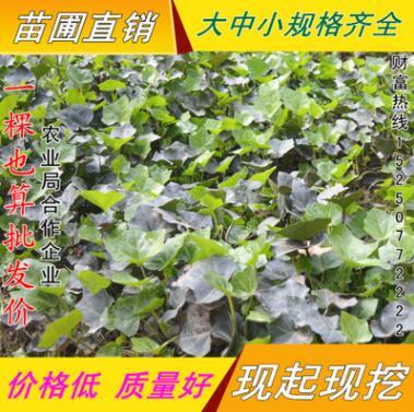 常春藤绿化 攀援植物 四季常青盆栽花卉 长春藤小苗长青藤