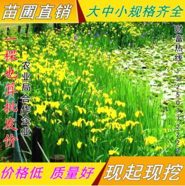 批发鸢尾 黄菖蒲 黄花鸢尾 湿地绿化 水生陆地均可栽植