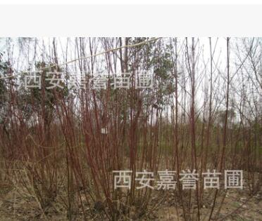 西安直供红柳树苗木 山西内蒙新疆西藏宁夏河北陕西 工程用苗直供