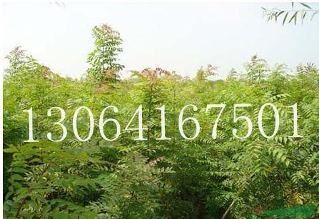 黄连木种苗供应/黄连木种苗图片