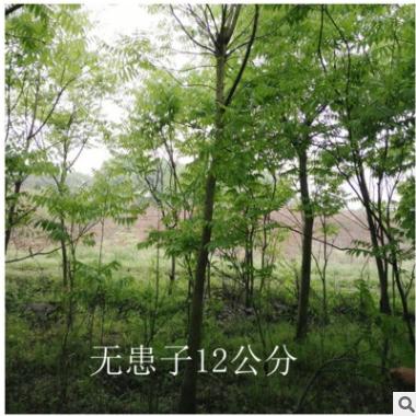 工程绿化苗木无患子苗木 行道园林树苗批发 量大优惠