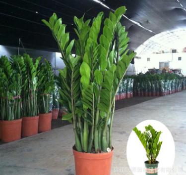 金钱树摇钱树室内客厅大绿植盆栽盆景花卉吸甲醛观叶招财植物盆栽