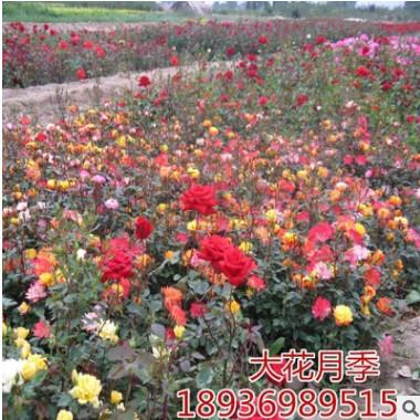 品种月季花 大花月季四季开花 工程绿化月季观花植物花卉园艺庭院