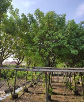 楼盘行道树全冠黄槐10cm假植苗黄花槐