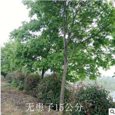工程绿化苗木12公分无患子苗木 行道园林树苗批发 量大优惠