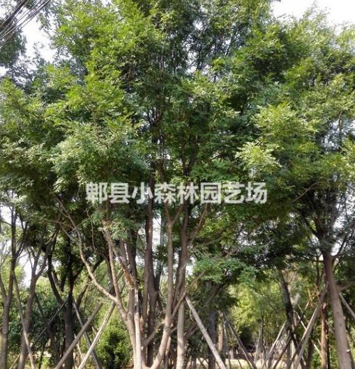皂角,皂角树