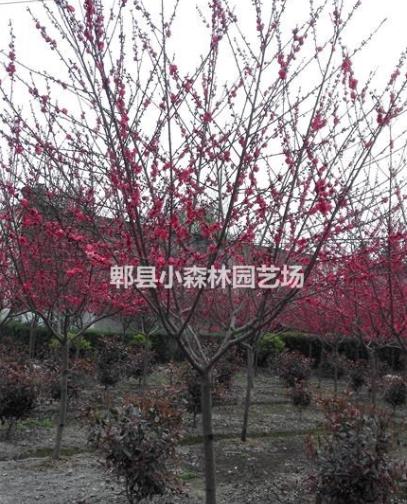 碧桃,红叶桃,桃花,桃树