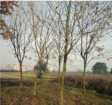 苗圃供应 无患子树 工程绿化苗木 行道绿化树苗