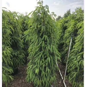 四季常青灌木塔榕高1.8-2米即可绿篱亦可孤植