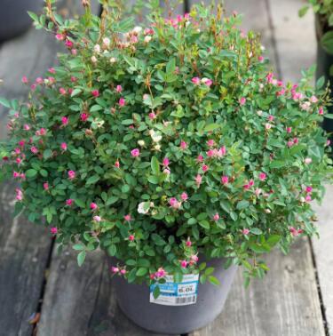 超微月季微型多头月季花朵如指甲盖花量大花期长花卉植物庭院阳台
