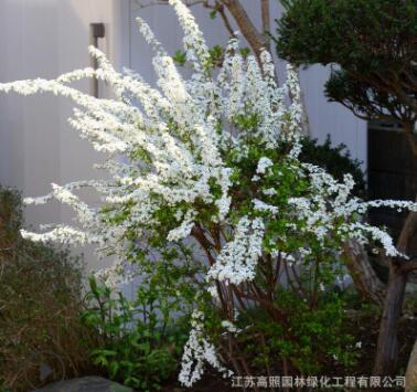 多花耐热喷雪花苗 匍匐形白雪花盆栽 花园庭院花境植物花开如雪
