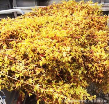 嫁接日本红枫橙之梦黄金枫树盆景 小苗带叶发货盆景 庭院绿化盆栽