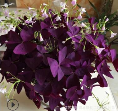 喜阳紫叶酢浆草炸酱草 紫蝴蝶三叶草种球室内花卉 喜阳幸运草种球