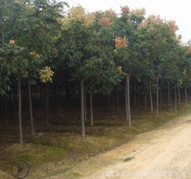 观叶造型规格全黄山栾树 露地北京栾1-15公分粗 绿化防护庭荫树种