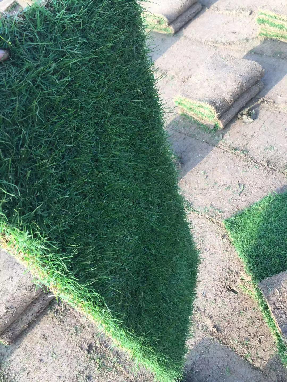 大批量供应百慕大与黑麦草混播草坪电15961543375低价