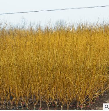 龙枝形嫁接黄金槐树 露地金枝槐树 园林工程绿化苗常绿乔木行道树