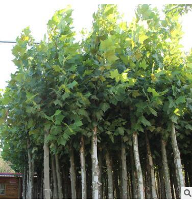 行道绿化防护法国梧桐树 景观庭院观赏梧桐树苗 湿地绿化法国梧桐