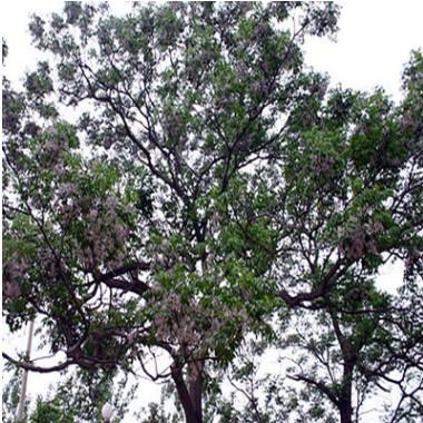大量供应苦楝树绿化工程 行道树 规格齐全基地发货量大价优