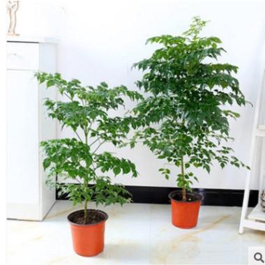 室内大型客厅办公绿植花卉盆栽 绿宝绿色植物幸福树平安树吸甲醛