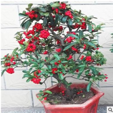盆栽花卉盆景火棘苗盆栽绿植满树红果惹人爱阳台客厅室内观果植物